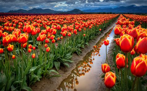 tulip field tulips field 1920 x 1200 nature photography