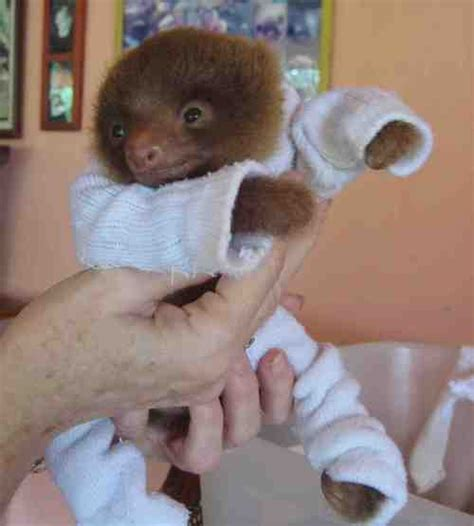 What to do if your baby sloth gets the mange democratic underground