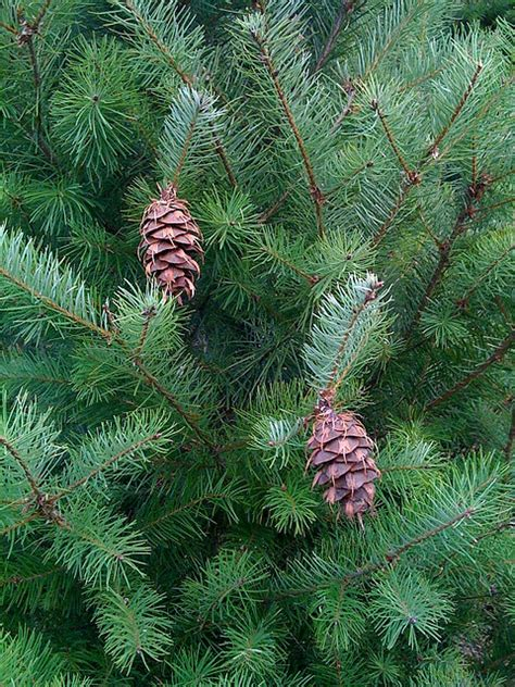 douglas fir christmas tree care everyone s favorite tree species and a few buying tips homestead gardens inc