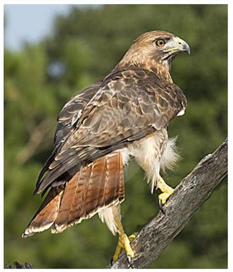 Hawk Garden Center by Tailed Hawk Perched Www Pixshark Images