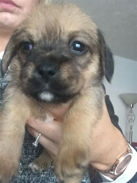 pugs crossed with russells pug cross crossed with walsall west midlands pets4homes