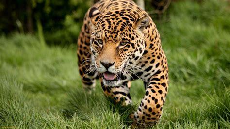 green jaguars 15 hungry jaguar cat grass animals mirror effect 1231