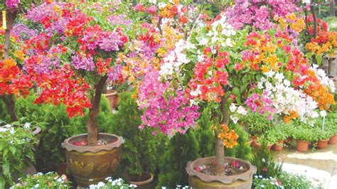 bougainvillea colors bold beautiful bougainvillea saturday magazine the