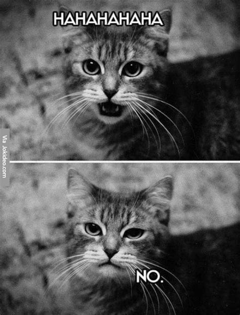 Laughing Cat Meme - funny laughing cat picture