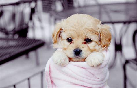 sweet puppy puppy sleep sweet image 447561 on favim