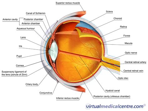 eyeball diagram labeled the eye and vision myvmc