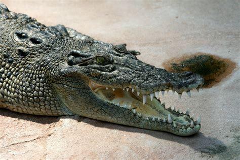 krokodil images hortus atlanticus crocodilo poroso
