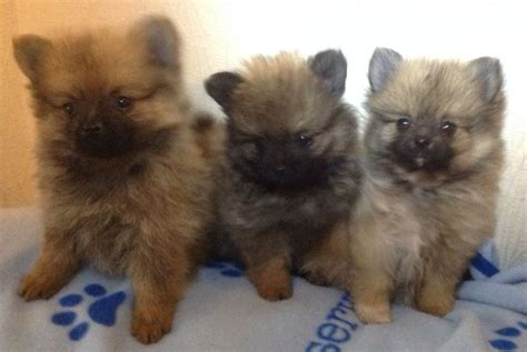 tiny pomeranians tiny pomeranian breeds picture