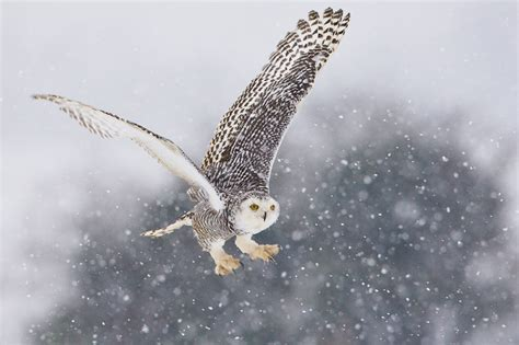 Canon Creative Park Snowy Owl - snowy owl migrations parks search and results