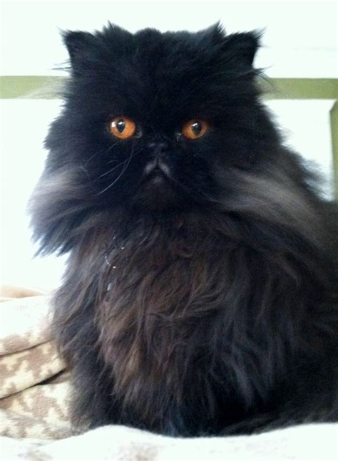 rescue seattle 8 fabulous cat rescue seattle in cat biological science picture directory