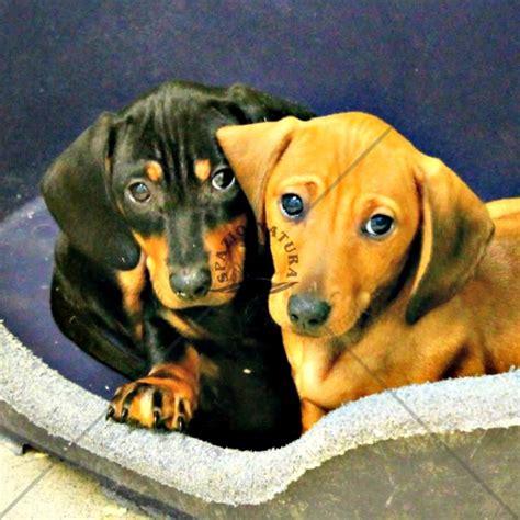 cani docili da appartamento docile da appartamento le razze di cani pi piccole