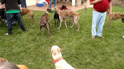 adoption springfield mo greyhound pet adoption springfield missouri