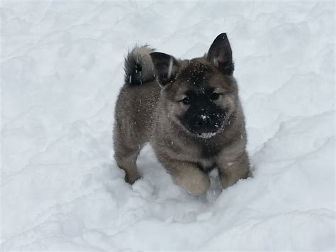 elkhound puppy elkhound puppies the next generation mcclone