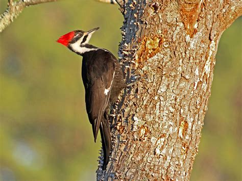 north carolina mountain birds pileated woodpecker