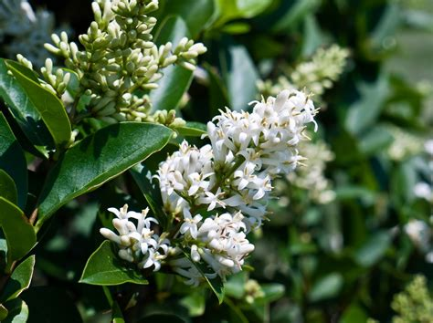 fragrant trees with white flowers fragrant white flowering shrub identification pictures to