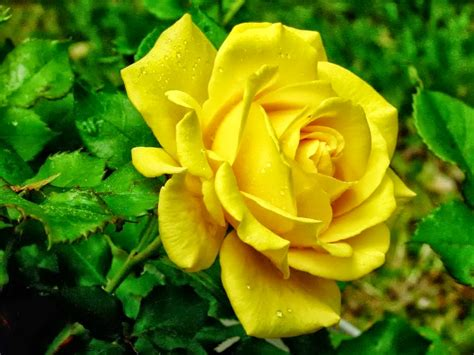 free wallpaper yellow roses all 4u hd wallpaper free download yellow rose wallpapers