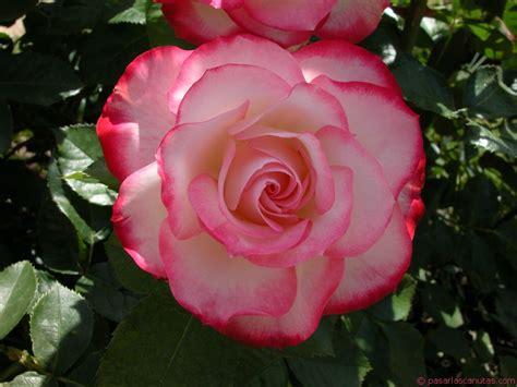 imagenes de flores rositas siempre una rosa preciosa