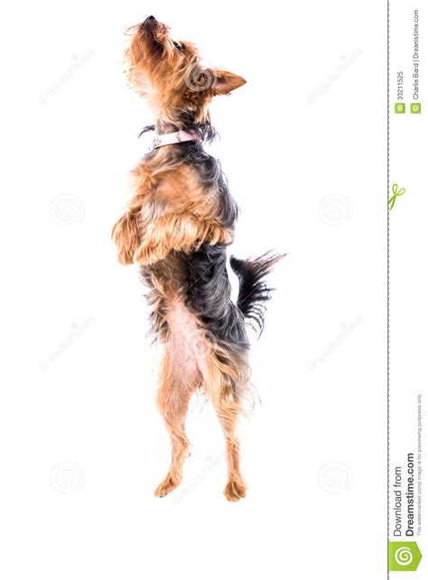 yorkie with legs agile yorkie or terrier stock image image 33211525
