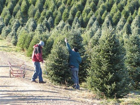 16 christmas tree farms upstate ny pick your own