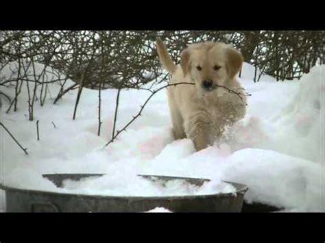 golden retriever imitates siren adorable golden retriever puppies in the snow 1funny