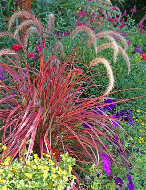 pennisetum fireworks master gardener program