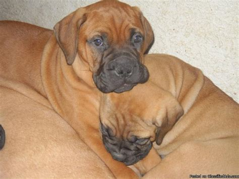 bullmastiff puppies price bullmastiff puppy breeds picture