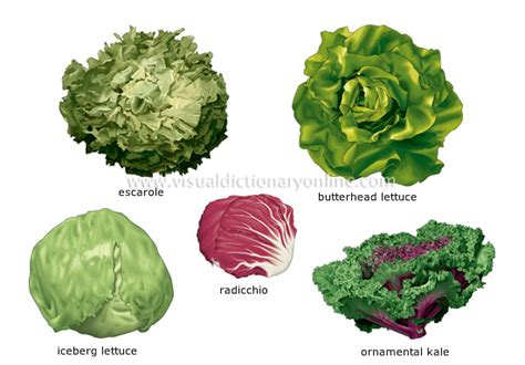 different type of leafy vegetable with name food kitchen food vegetables leaf vegetables 2 image visual dictionary