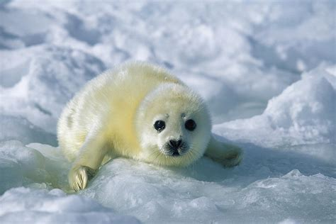 white seal pup a harp seal pup in a white coat stares photograph by