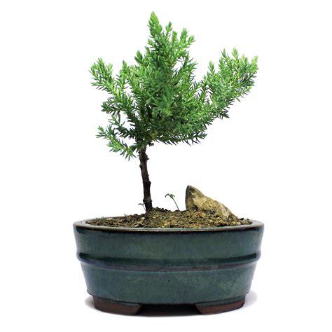 indoor zen mini rock juniper bonsai tree