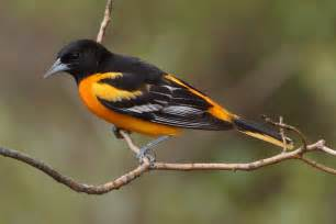 recent sightings a couple new birds and updated oriole shots