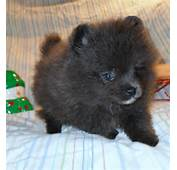 Blue Teacup Pomeranian  Galleryhipcom The Hippest Galleries