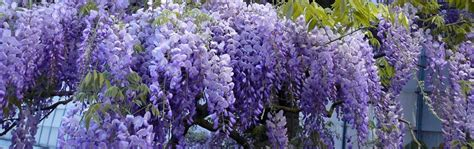 blauwe regen weinig bloemen klimplanten kopen potplanten buiten schaduw