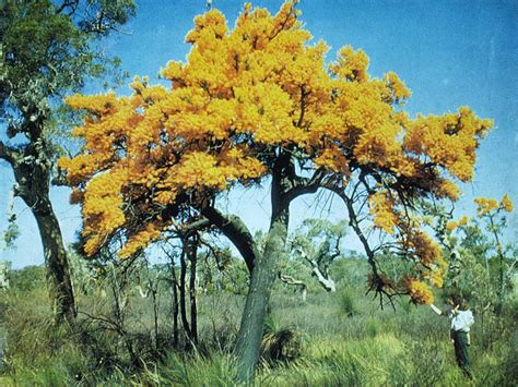 nuytsia floribunda the australian christmas tree