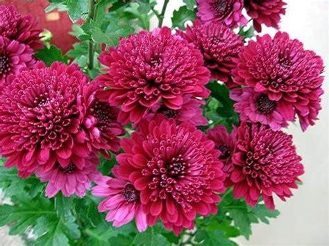 fiore crisantemo crisantemo significato significato fiori crisantemo