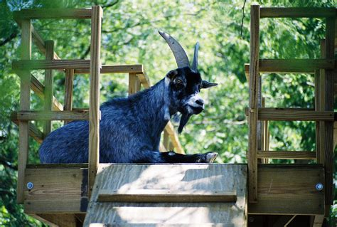 Blue Goat treehouse with the pygmy blue goat all right it s actuall flickr