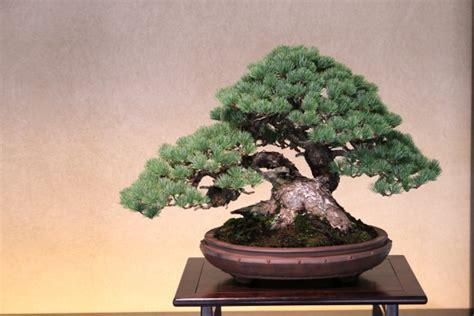 bonsai for beginners bonsai trees for beginners maintenance tips uniqsource com