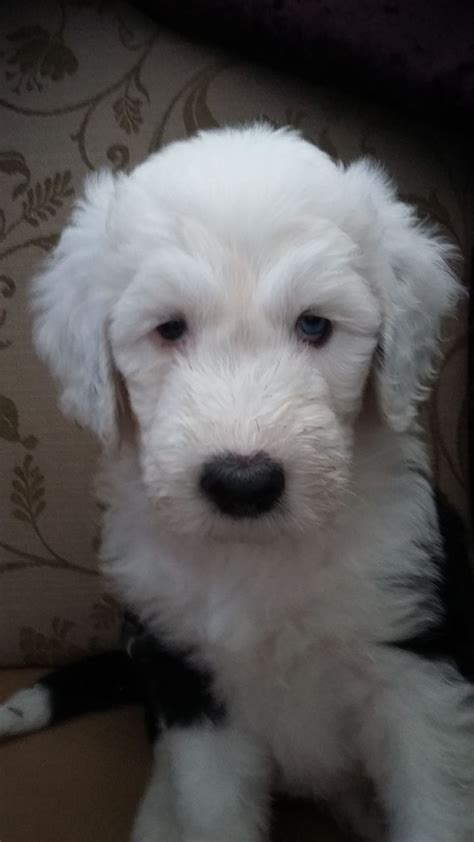 sheepdog puppies for sale beautiful oldenglish sheepdog puppies for sale porthcawl bridgend pets4homes