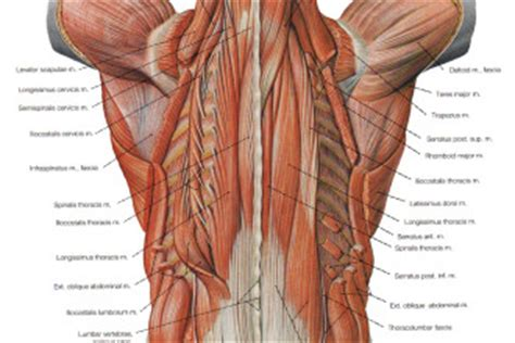 diagram of back muscles labeled diagram of cat muscles labeled free engine image