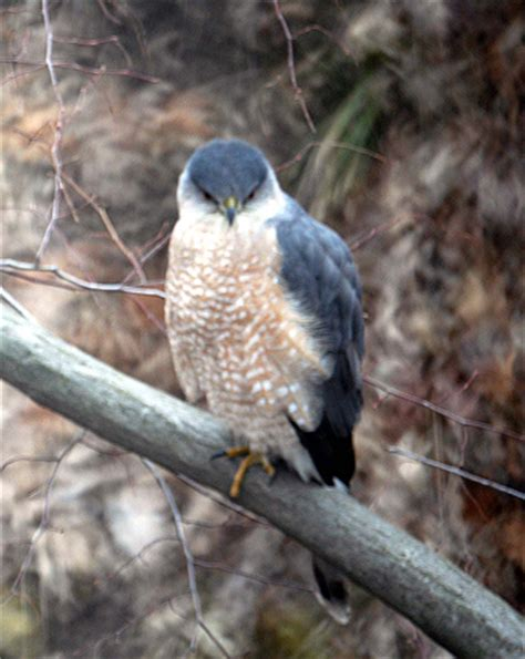 ohio bird photo collection cooper s hawk