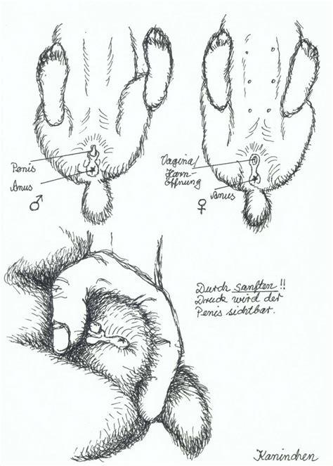 Zwergwidder Kaninchen Nhd 18 Das Geschlecht Kaninchen