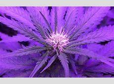 Critical Kush Cannabis Strain Information - Leafly Leafly App