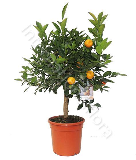 pianta di arancio in vaso pianta di arancio