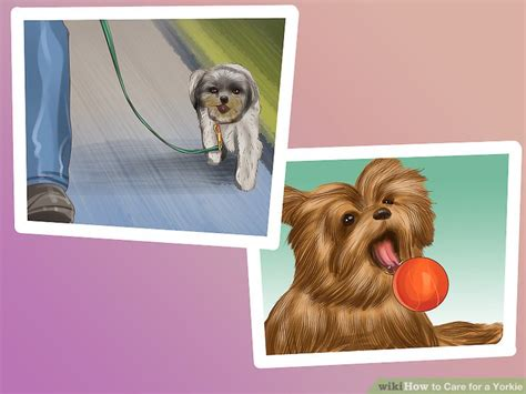 yorkie overweight how to care for a yorkie with pictures wikihow