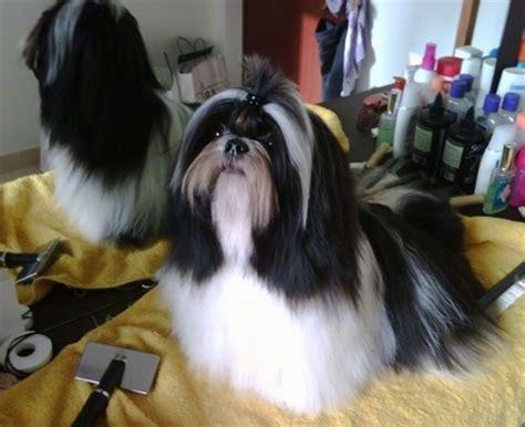 haired shih tzu dogs pin shih tzu hair chihuahua mix 225 usd on