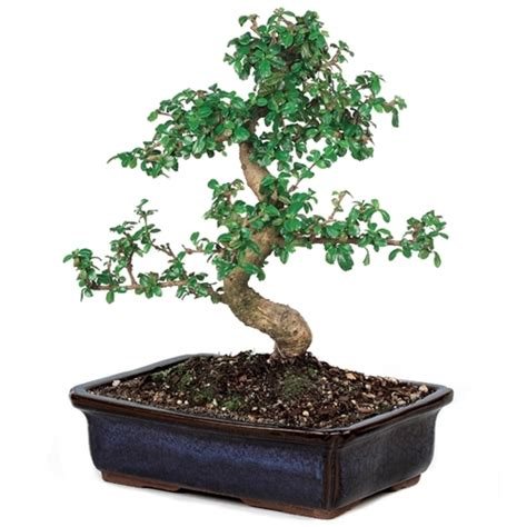 bonsai fujian tea bonsai tree  easternleafcom