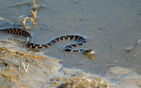 Water Snake by Water Snake Wallpaper Free Wallpaper