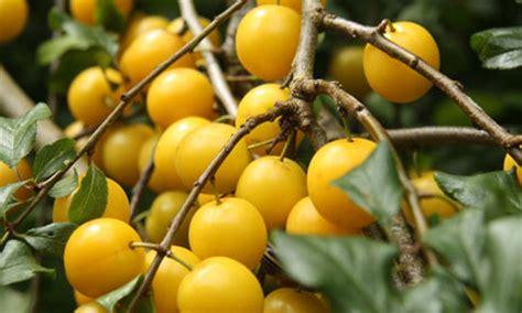 cherry tree yellow fruit gallery yellow plum fruit