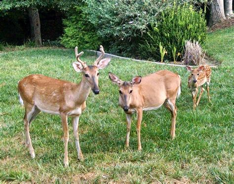 what can i feed the deer in my backyard game and fisheries do not feed the deer the virginia