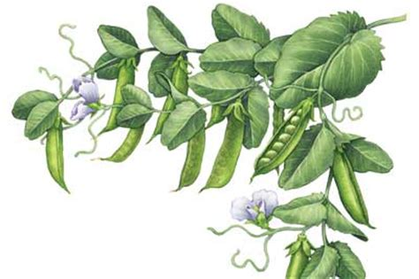 Bild Mit Echten Pflanzen by All About Growing Peas Organic Gardening Earth News