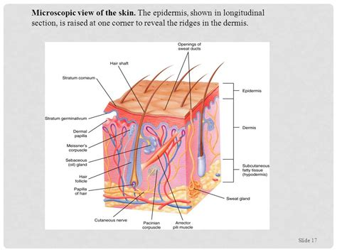 longitudinal section of skin integumentary system unit 3 activities reading chapter 5